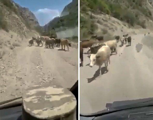 Azərbaycanlı fermerlər mal-qarasını Kəlbəcərdəki yaylağa aparır -  VİDEO